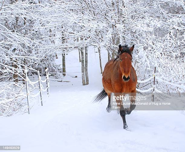 horse trotting through fresh snow-covered scenery - bay horse stock photos and pictures