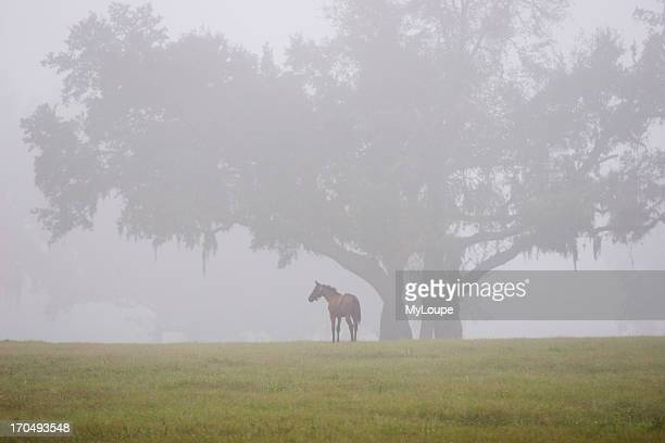 Horse Under A Tree In A Foggy Pasture South Of Ocala Florida USA