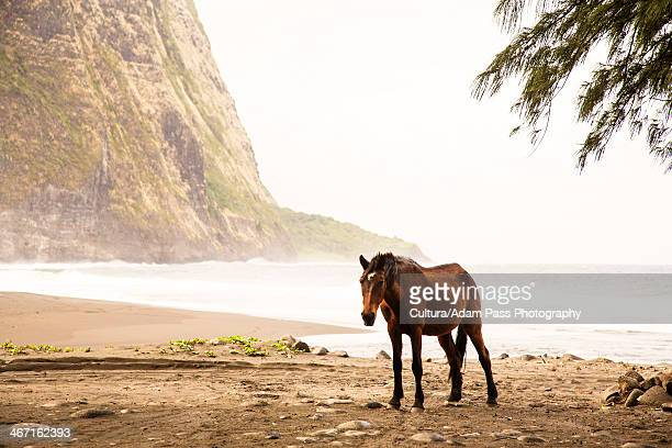 horse walking on beach - waipio valley stockfoto's en -beelden