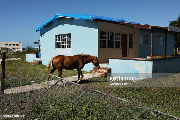 A horse walks among abandoned homes on the nearly destroyed island of Barbuda on December 8 2017 in Cordington Barbuda Barbuda which covers only 62...
