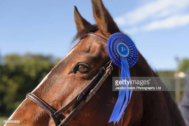 Horse wearing blue ribbon