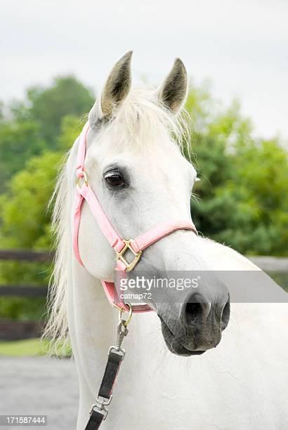 Horse Wearing Pink Halter, White Arabian Mare Portrait