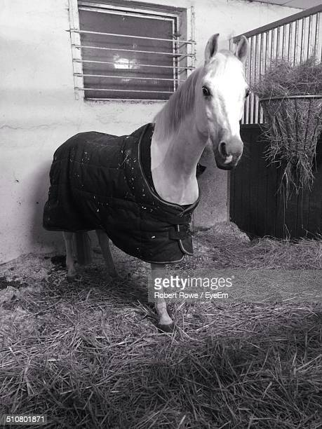 Horse with blanket in stable