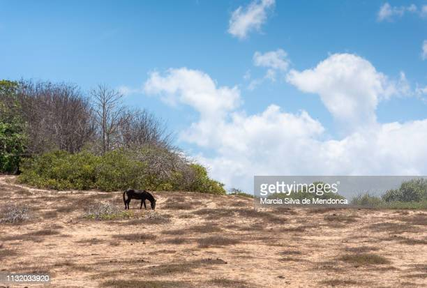 A horse, with dark hair, is grazing in the vegetation of the Jericoacoara savannah.