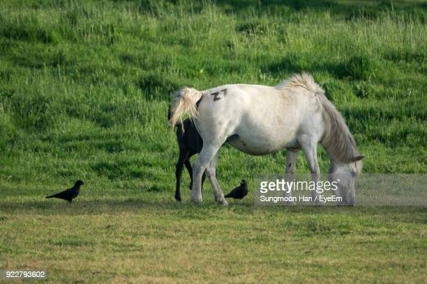 Horse With Infant By Birds On Field