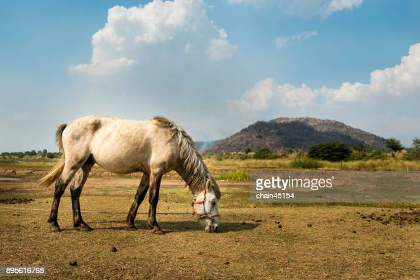 Horse with long mane in grass field against blue sky, Horse eating.