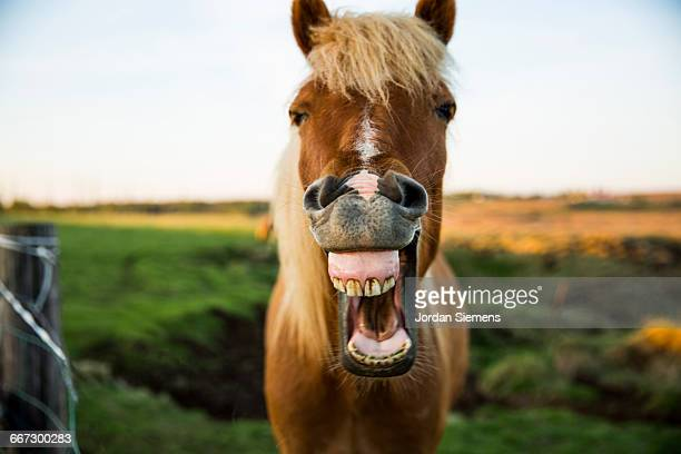 horse with mouth wide open - equestrian animal photos et images de collection