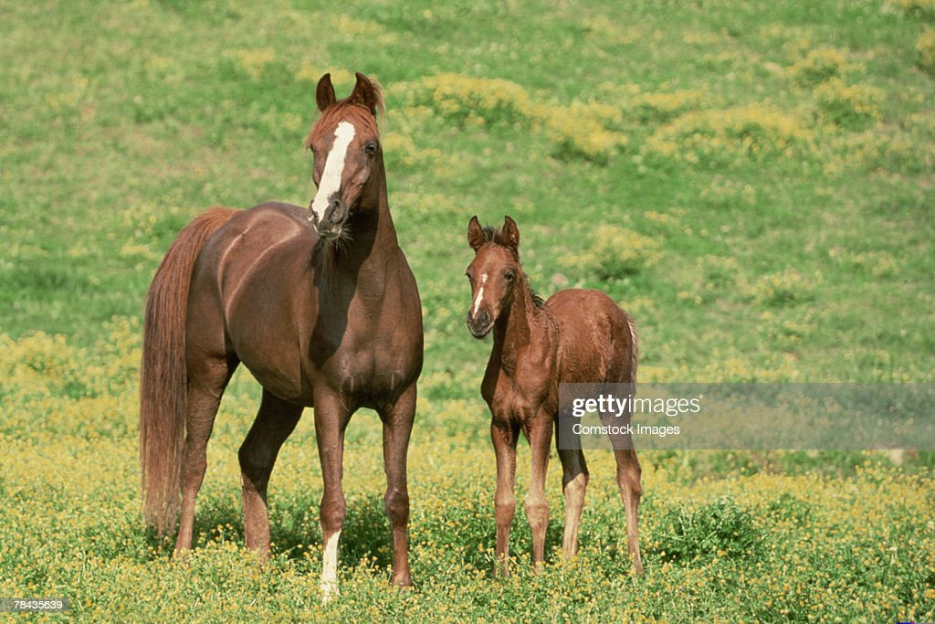 Horse with offspring in pasture : Stockfoto