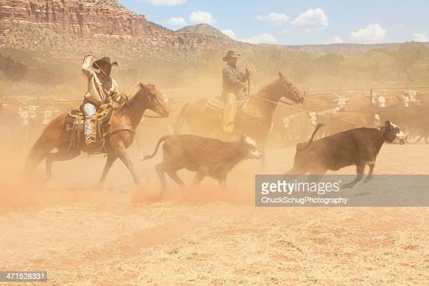horseback cowboys lasso cattle herd - livestock branding stock photos and pictures