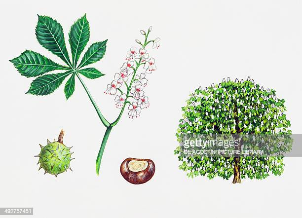 Horsechestnut or Conker tree Sapindaceae tree leaves fiori and fruits illustration