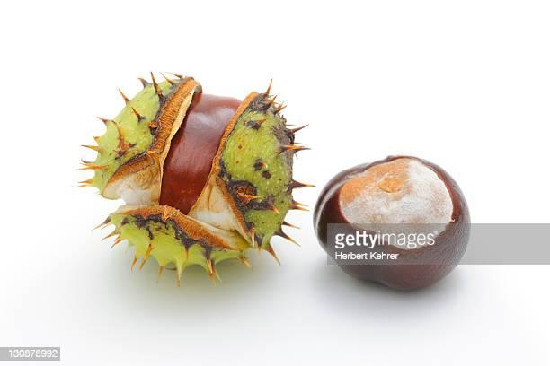 Horse-chestnut (Aesculus hippocastanum)
