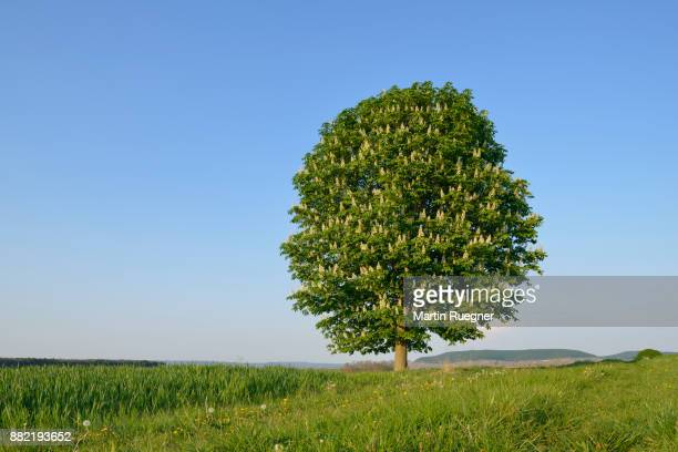 horse-chestnut (aesculus hippocastanum) tree in field. - picture of a buckeye tree stock photos and pictures