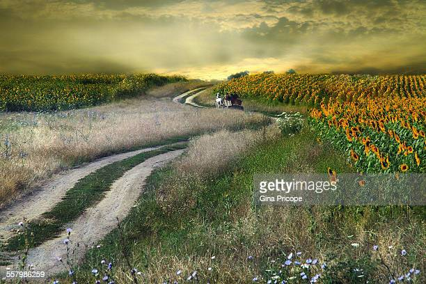 Horsedrawn carriage and sunflower field