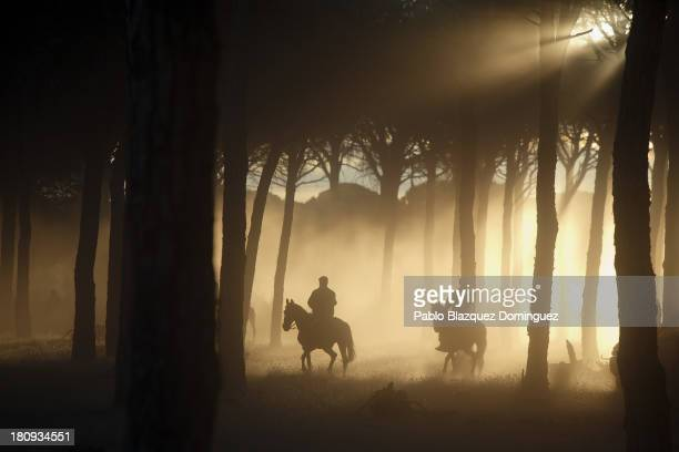 Horsemen guide bulls to the Village of Tordesillas hours before the 'Toro de la Vega' bull of the plain tournament takes place during the 'Virgen de...