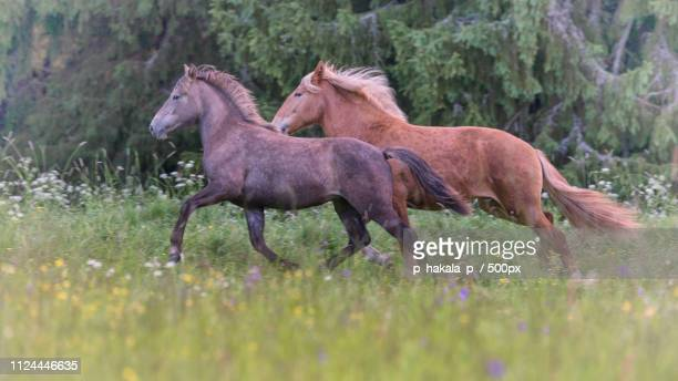 horsepower - hairy p stock pictures, royalty-free photos & images