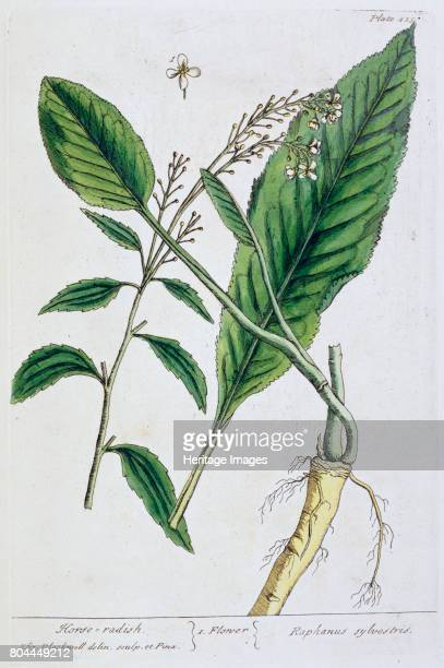 Horseradish 1782 Plate 451 from A Curious Herbal by Elizabeth Blackwell published in 1782 Artist Elizabeth Blackwell