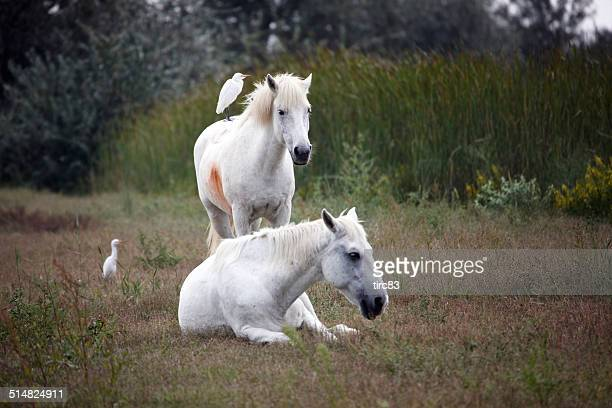 Horses and egrets in the Camargue