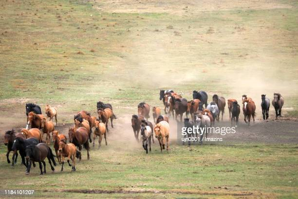 horses and forest, gunma prefecture, inner mongolia, china - 哺乳類 ストックフォトと画像