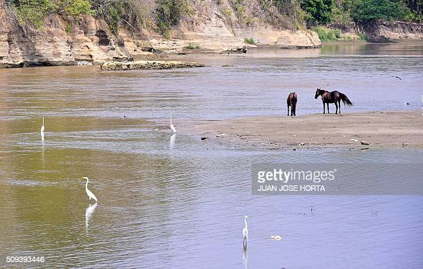 Horses and herons drink in the Magdalena River in La Dorada Caldas department Colombia on February 8 2016 Affected by El Nino the Magdalena...