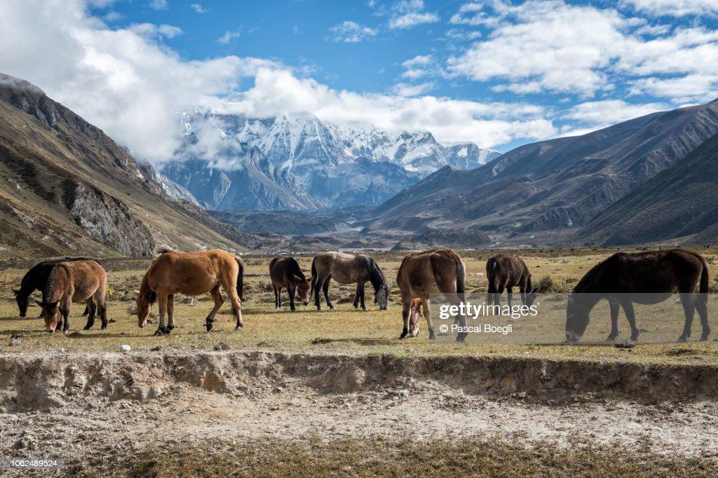 Horses and mules grazing in Chozo, Lunana Gewog, Gasa District, Snowman Trek, Bhutan : Stock Photo