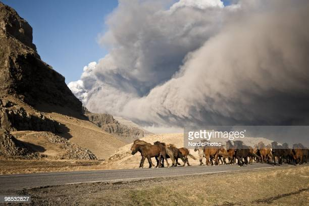 Horses are herded to safety away from volcanic ash April 17, 2010 near Eyjafjallajokull, Iceland. A major eruption occurred on April 17, 2010 which...