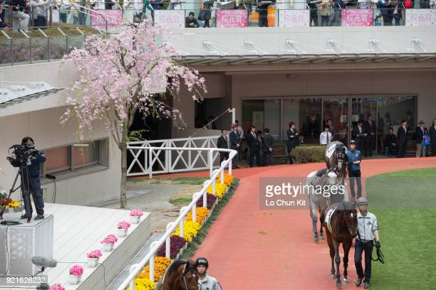 Horses are paraded around the paddock prior to a race at the at Hanshin Racecourse during the cherry blossom season on April 3 2016 in Takarazuka...