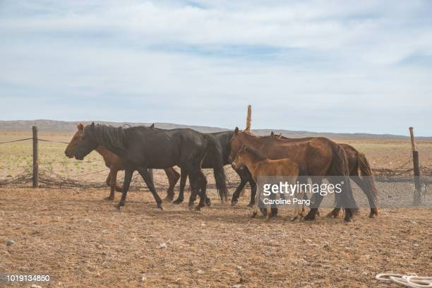 Horses are part of the main domestic animals reared by Mongolian nomads.