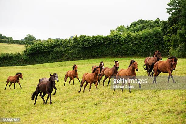 Horses are rounded up from the fields after the summer break on July 13 2015 in Minehead England Sandhill Racing Stables set in 500 hundred acres of...