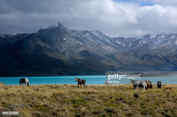 Horses at Lake Belgrano Perito Moreno National Park Southern Andean Patagonia Santa Cruz Argentina