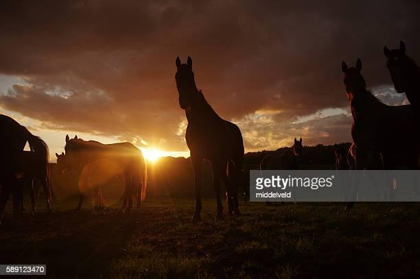 Pferde bei Sonnenuntergang in einem Land meadow