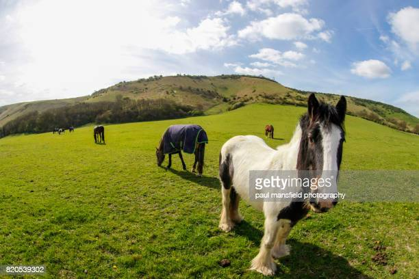 Horses at the foot of the South Downs