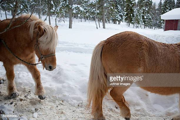 Horses at winter