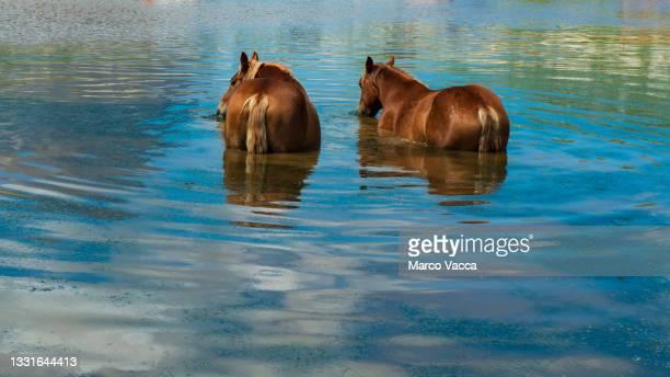 horses bathing  in a natural reservoir - parco nazionale del gran sasso e monti della laga foto e immagini stock