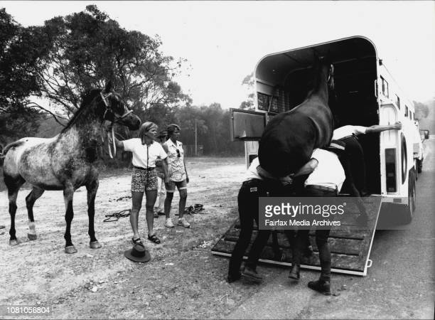Horse's being lodded for evacudtion McCarr's Creek Rd Terrey Hills January 08 1994