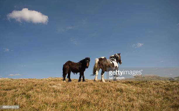Horses belonging to the Yorkshire shepherdess Amanda Owen stand on the moors as she heads up to feed them at her farm Ravenseat on April 15 2014 near...