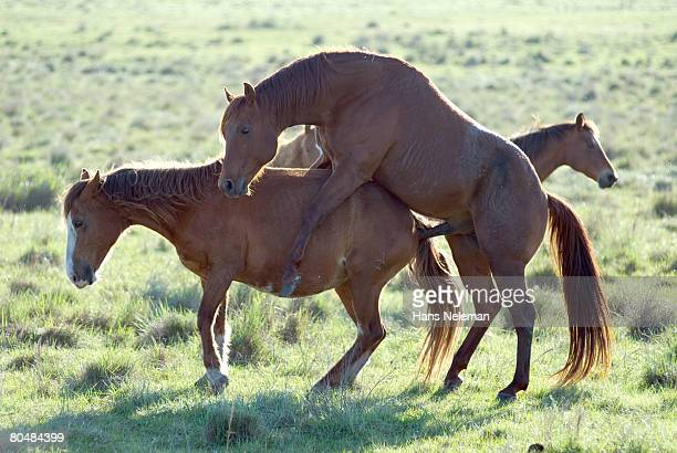 Horse Mating Stock Photos and Pictures | Getty Images