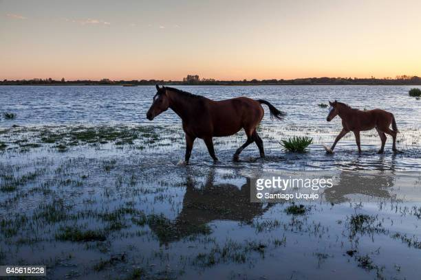 horses crossing a marsh - donana national park stock photos and pictures