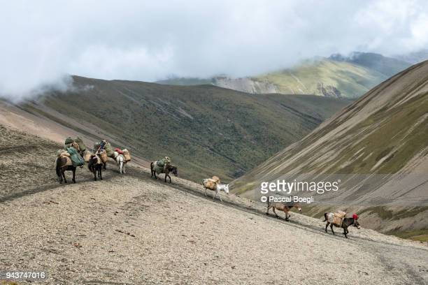 horses descending from nyile la pass, thimphu district, snowman trek, bhutan - bhutan stock pictures, royalty-free photos & images