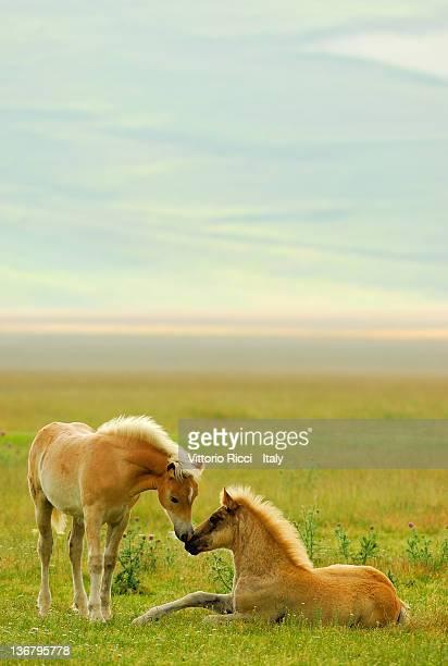 Horses foals in field