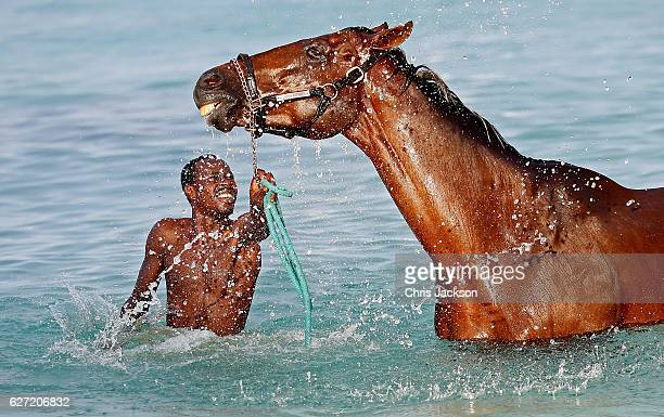 Horses from the Garrison Savannah are washed in the sea first thing in the morning on December 1, 2016 in Bridgetown, Barbados. Prince Harry is...