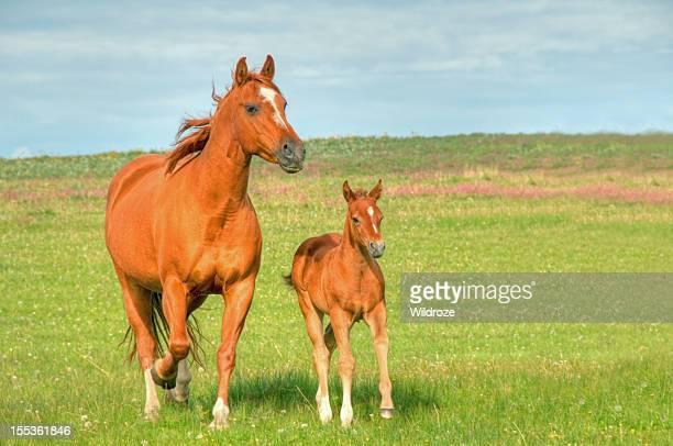 Horses gallop across mountain meadow
