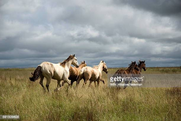 Horses galloping in grass, Uruguay