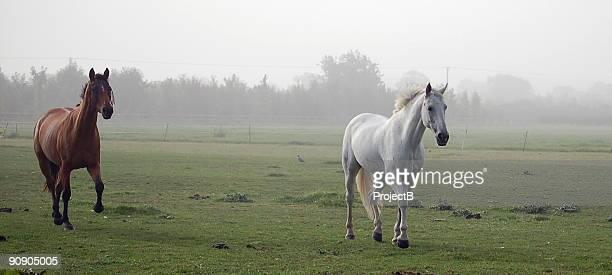 caballos galloping on a niebla día - caballo blanco fotografías e imágenes de stock