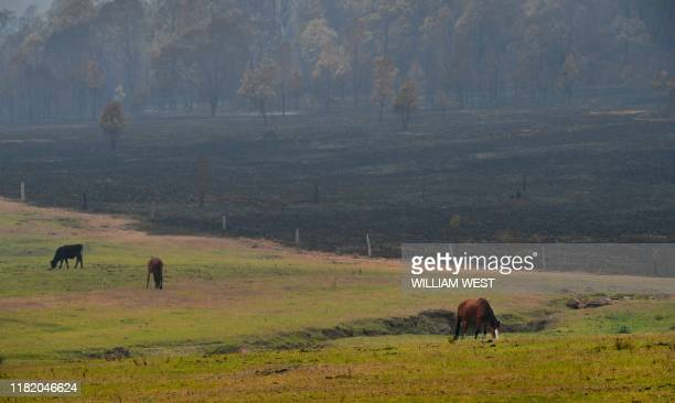 Horses graze after bushfires impacted houses and farmland near the small town of Glenreagh some 600kms north of Sydney on November 13 2019 Bushfires...