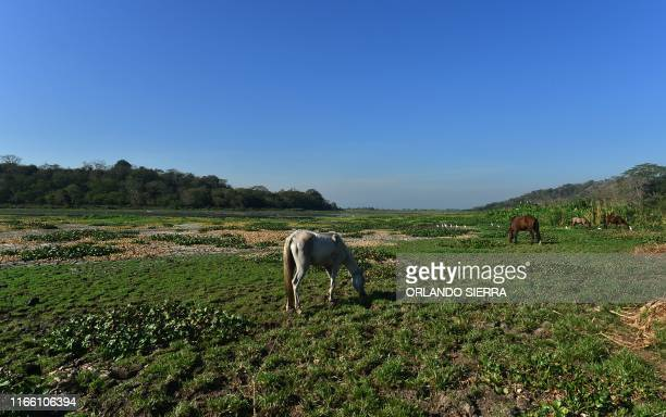 Horses graze at a dried area of the Jucutuma Lake in San Pedro Sula Honduras on September 1 2019 Honduras declared a state of emergency on September...