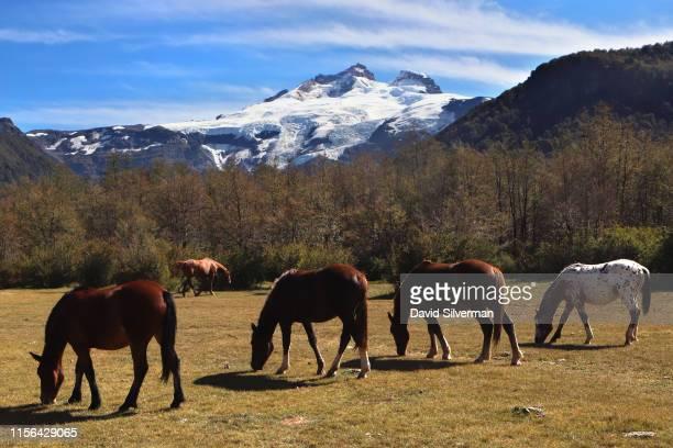 Horses graze in a field near the snow-capped Cerro Tronador extinct stratovolcano on March 31, 2019 in the Nahuel Huapi National Park near the...