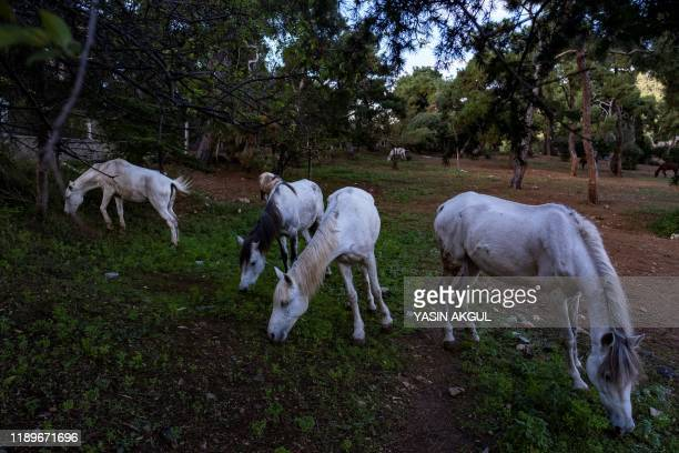 Horses graze in the forests on the largest island of Buyukada off Istanbul on November 29 2019 It's one of the classic excursions in Istanbul a boat...