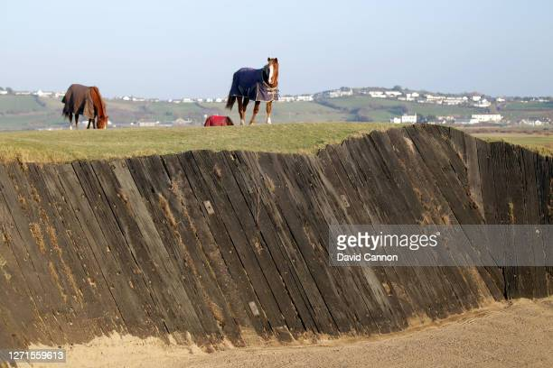 Horses graze on the golf course above the famous 'Cape Bunker' on the par 4, third hole at Royal North Devon Golf Club also known as Westward Ho!...