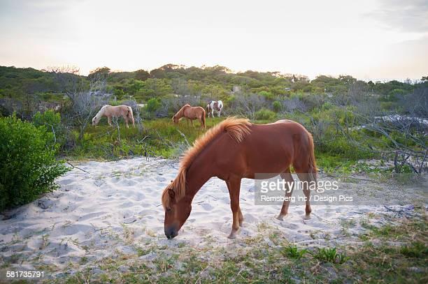 horses grazing at assateague island national seashore - maryland staat stockfoto's en -beelden