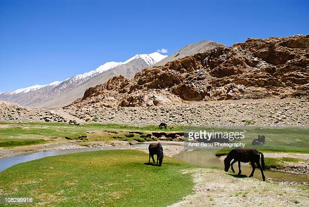 horses grazing by the side of a stream in ladakh - amit basu stock pictures, royalty-free photos & images